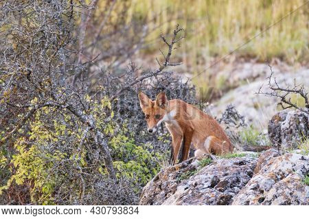 Red Fox Young Pup Is Sitting On A Stone Looking. Vulpes Vulpes.