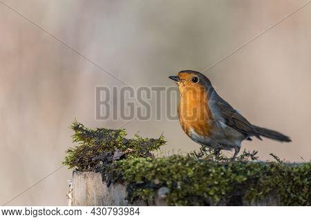 Garden Birds. Robin Erithacus Rubecula In The Wild.