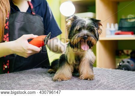 Groomer Cuts Of Yorkshire Terrier By Haircut Machine For Animals.