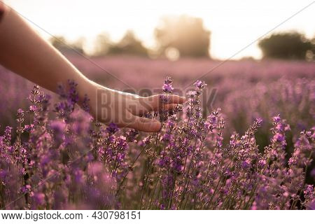 Womans Hand Touching Lavender On The Field Feeling Nature. Summer Evening And The Girls Hand With Li