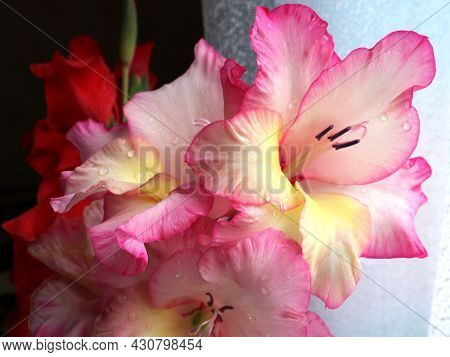A Bouquet Of Pink And Red Gladioli In Raindrops, Garden Summer Flowers In An Elegant Bouquet Sprinkl