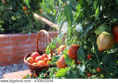 Full Basket Of Red Organic Tomatoes .raised Beds Gardening In An Urban Garden Growing Plants Herbs S