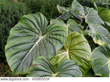 Beautiful Big Leaves Of Philodendron Dean Mcdowell
