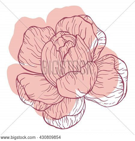 Pastel Pink Floral Line Art On White Background. Beautyful Peonies Flower Drawing For Invitations An