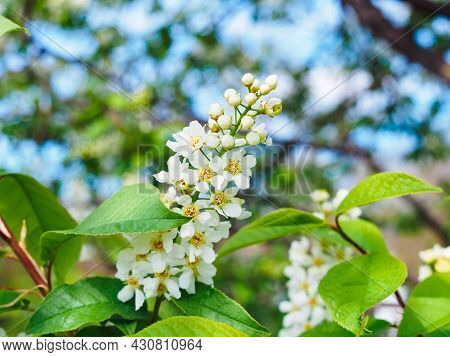 Beautiful Branch Of Blooming Bird Cherry Close-up