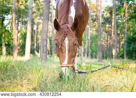 Horse With A Braid Grazing In A Forest Glade On A Sunny Day