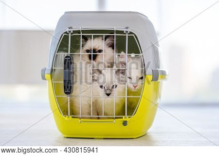 Three adorable ragdoll cats sitting closed in pet carrying for transportation. Purebred fluffy domestic feline animals inside basket with metal lattice