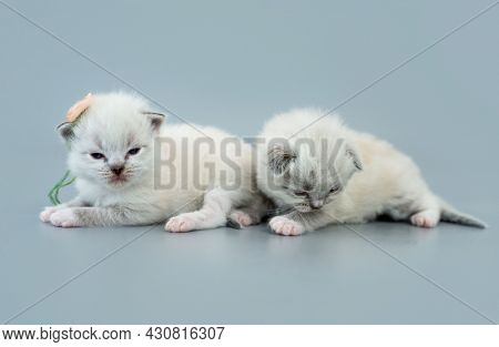 Two fluffy ragdoll kittens lying isolated on light blue background with copyspace. Studio portrait of little cute breed cats and one kitty with flower on its ear