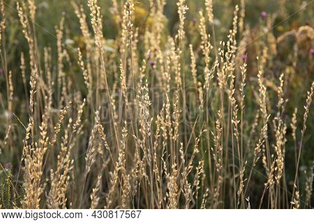 Wild Dry Grass In The Last Summer Field With Sunbeams