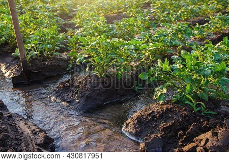 Potato Plantation Watering Management. Shovels Stuck Into Water Stream For Direction Of Flows To Pla