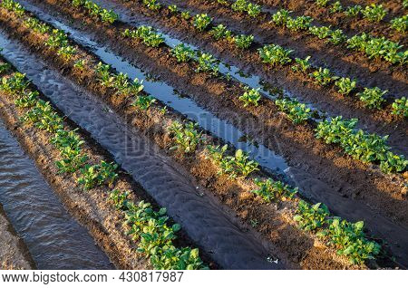 Freshly Watered Potato Plants. Surface Irrigation Of Crops On Plantation. European Farming. Agricult