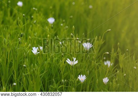 Perennial White Flowers Bloom In The Meadow In The Spring