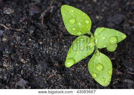 Grün sprießt, wächst aus Samen