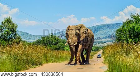Huge And Musth African Elephant (loxodonta Africana) Road Block In A South African Nature Reserve