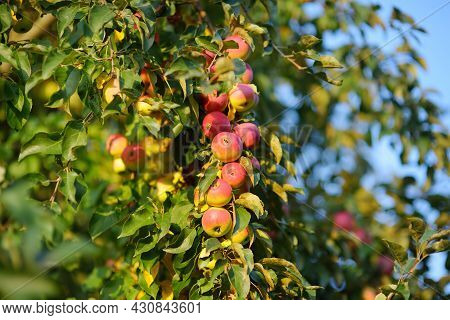 Lots Of Ripe Red Apples On The Tree In Orchard. Harvesting Of Apples In The Domestic Garden In Summe