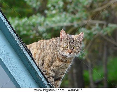 Curious Tabby Cat