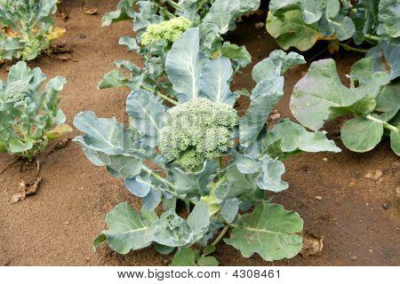 Broccoli In Field