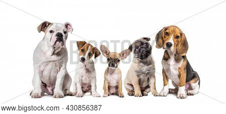 Group of purebred Dogs in a row, pets, isolated on white