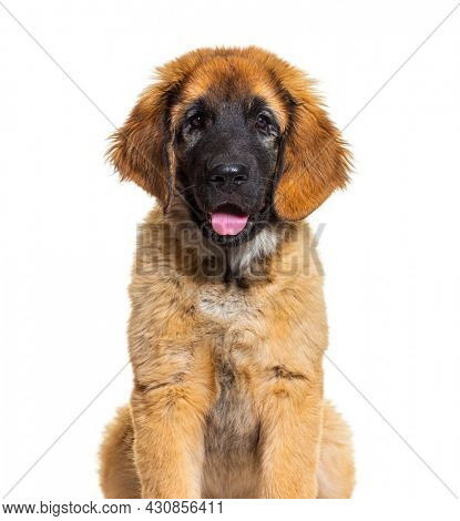 Head shot of a panting Leonberg, isolated on white