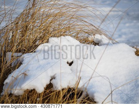 Faded Grass Covered With Frsh Snow, Winter Season Weather