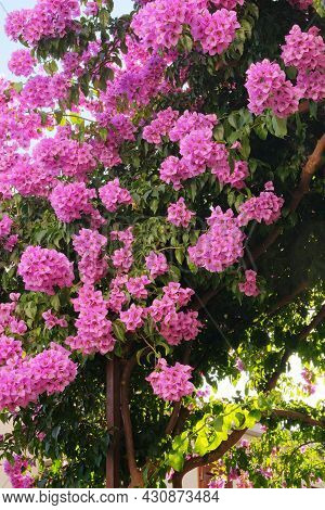 Bougainvillea Bush Grows Next To Residential Buildings On The Coast Of Croatia. Summer Landscapes In