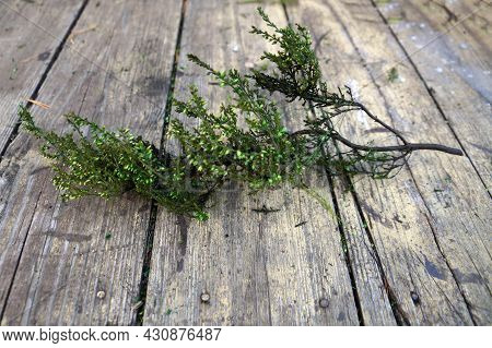 Green Stabilized Heather On An Old Wooden Table For Home Decor