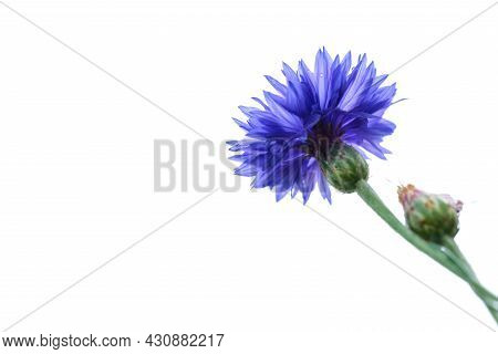 Blue Closeup Cornflower Isolated On White. Natural Floral Background
