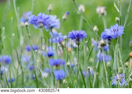 Field Of Flowering Cornflowers, Summer Meadow Of Blue Cornflowers. Natural Floral Background. Close-
