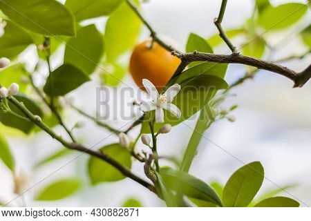 The Decorative Mandarin Tree Blooms Beautifully And Abundantly On The Window. A Tree In Flowers.
