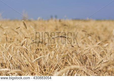Agricultural Field. Ripe Ears Of Wheat On A Sunny Day. The Concept Of A Rich Harvest.