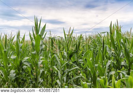 Agricultural Field With Corn