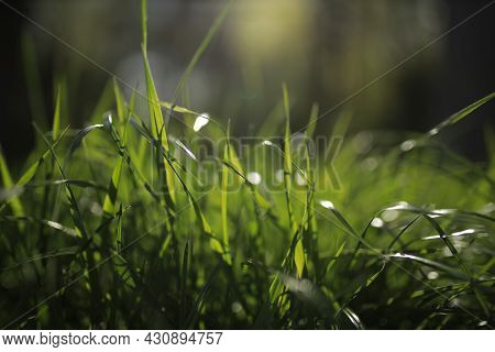 Green Grass. Close Close Of Fresh Thick Grass With Water Drops Early In The Morning. Bright Bright G