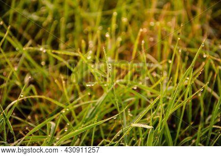 Selective Focus Dew On Green Grass In The Early Morning. Nature Background. Selective Focus On Dew W