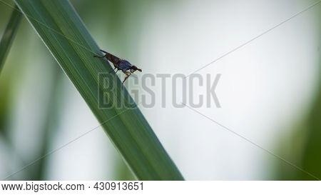 Tephritidae. Tephritis Bardanae Gall Fly. Fly In The Family Tephritidae, Responsible For Galls On Bu