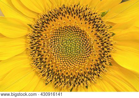 A Sunflower Seed Head With Fibonacci Spirals Full Frame Background