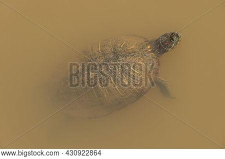 A Full Size Painted Turtle Floating To The Surface Of The Murky Water In The Wetlands Sticking Its H