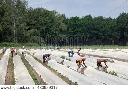Lottum, The Netherlands - June 19, 2021: Asparagus Cultivation With Seasonal Workers Busy With Harve