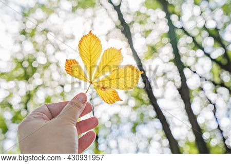 Single Yellow Chestnut Leaf In Hand Against Branches Of Trees In Sunlight. Hello September, Melancho