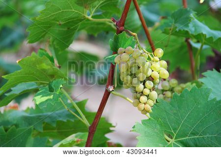White grapes in the vineyard close up poster