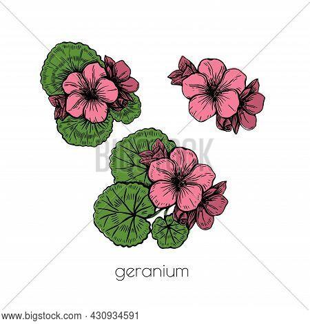 Pink Geranium Flower Set Sketch In Vintage Style On White Background. Ffloral Illustration. Nature B