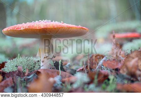 Close-up Of Fly Amanita Growing On Grey Moss. A Toxic Inedible Mushroom In Its Natural Habitat, Sele
