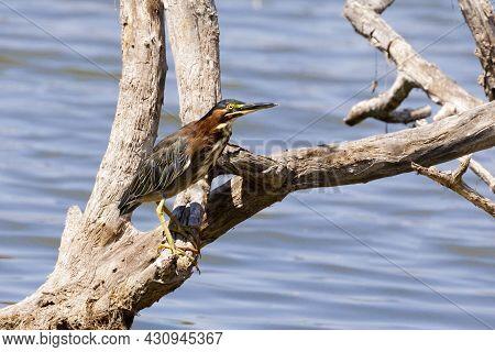 Green Heron Adult Foraging By The Lake. Ed Levin County Park, Santa Clara County, California, Usa.