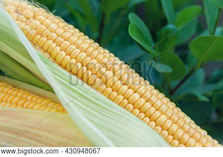 Fresh Corn On The Cob On A Green Foliage Background. Corn Leaves. Sweetcorn