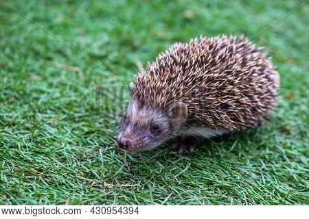 Angry Hedgehog Runs In A Green Meadow