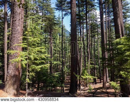 Kalam Deodar Forest Scenic View In Swat Valley