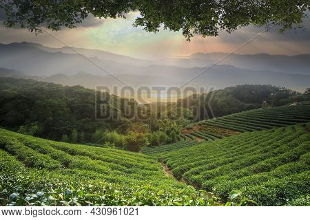 Beautiful Tea Darden With Nice Sunset And Tea Tree Green