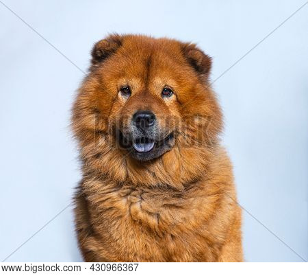 Head shot of Reddish coated Chow Chow looking at camera