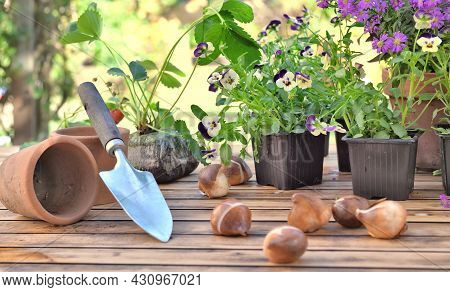 Bulbs Of Flowers On A Garden Table In Front Of Flowers Potting And Strawberry