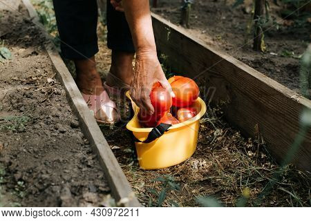 Close-up Of Female Wrinkled Hand Picking Ripe, Red Tomatoes In Yellow Bucket, Senior Woman Farmer Wo