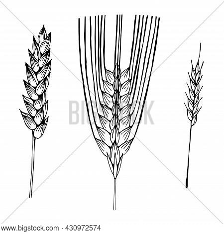 Wheat Spikelets Set Vector Illustration Hand Drawing Sketch